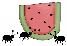 Watermelon ants jpg